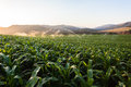 Farming maize crop water sprinklers food getting from at sunset Stock Images