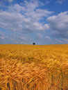 Farmland with cereal crops Royalty Free Stock Image