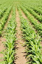 Farmland crops row of growing on Royalty Free Stock Image