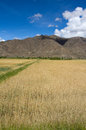 Farmland the of highland barley tibet china Stock Images