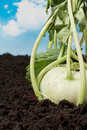 Farmland with kohlrabi turnip Royalty Free Stock Images
