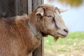Farmyard goat a brown standing in the doorway of a barn in a Royalty Free Stock Images