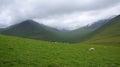 Faroe islands sheeps grazing on the mountain eysturoy island road to gjov in Stock Photo