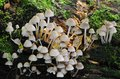 fasciculare真菌hypholoma硫磺一束 库存照片