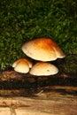 fasciculare hypholoma硫磺一束 库存图片