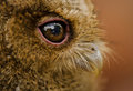 Fascinating eyes owlet at thailand in asia Stock Image