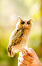 Fascinating eyes owlet at thailand in asia Royalty Free Stock Photos