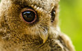 Fascinating eyes owlet at thailand in asia Royalty Free Stock Photo