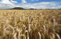 Fast motion in the wheat field in summer time Royalty Free Stock Photo