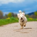 Fast running dog white mixed breed with slightly curly hair towards the camera against a spring background Royalty Free Stock Photography