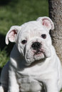 Fat bulldog puppy Royalty Free Stock Images