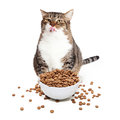 Fat Cat Eating Heaping Bowl of Food Royalty Free Stock Photo