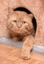 Fat cat red cat is in the house Royalty Free Stock Image