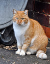 Fat cat sitting near a dumpster Royalty Free Stock Photography