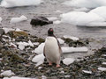 Fat gentoo penguin Stock Photo