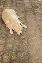 Fat labrador retriever sleep brick floor Royalty Free Stock Image
