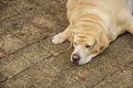 Fat labrador retriever sleep brick floor Stock Image