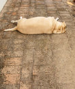 Fat labrador retriever sleep floor Stock Photos