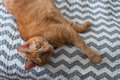 Fat orange tabby cat laying down in natural light Royalty Free Stock Photo