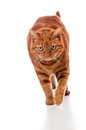 Fat Orange Tabby Cat Walking Royalty Free Stock Images