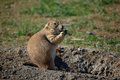 Fat Prairie Dog Stock Photography