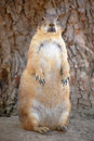 Fat Prairie Dog Stock Images