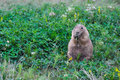 Fat prairie dog eating way too much grass! Royalty Free Stock Photo