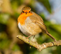 Fat Robin on branch. Royalty Free Stock Photo