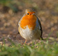 Fat Robin on grass floor Royalty Free Stock Photo