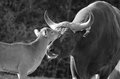 Father and calf banteng Royalty Free Stock Photos