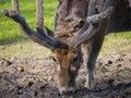 Father david s deer close up of a eating Stock Image