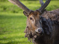 Father david s deer close up of with peeled off coat Royalty Free Stock Photos