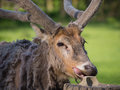 Father david s deer close up of with peeled off coat licking a stone Stock Images
