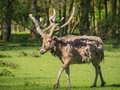 Father david s deer a molting his coat Royalty Free Stock Photos