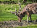 Father david s deer a molting his coat Stock Image