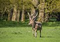 Father david s deer a molting his coat Stock Images