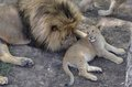Father lion and cub Royalty Free Stock Photos