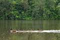 Father and mother goose with their children swimming in the lake under the rain green forest background Royalty Free Stock Photo