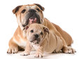Father and son dogs english bulldogs isolated on white background Stock Image