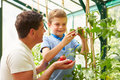 Father and son harvesting home grown tomatoes in greenhouse horizontal image of Stock Photography