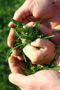 Father and son holding grass clippings a close up of a toddler s hands while being cradled in his s hands Stock Photos