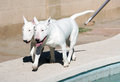 Father son white bull terriers Stock Photo