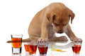 Fatigued puppy sits its head down over some tots alcohol Royalty Free Stock Images