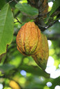 Fatty bean of Theobroma Cacao, fruit on tree, Dominican Republic. Royalty Free Stock Photo