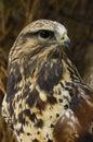 Faucon Rough-legged Images libres de droits