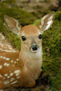 Fawn Stock Image