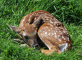 Fawn Stock Photos