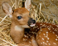 Fawn in barn. Royalty Free Stock Photo
