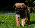 Fawn Cane corso puppy, 8 weeks Royalty Free Stock Photo