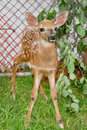 Fawn In Captivity Royalty Free Stock Photo